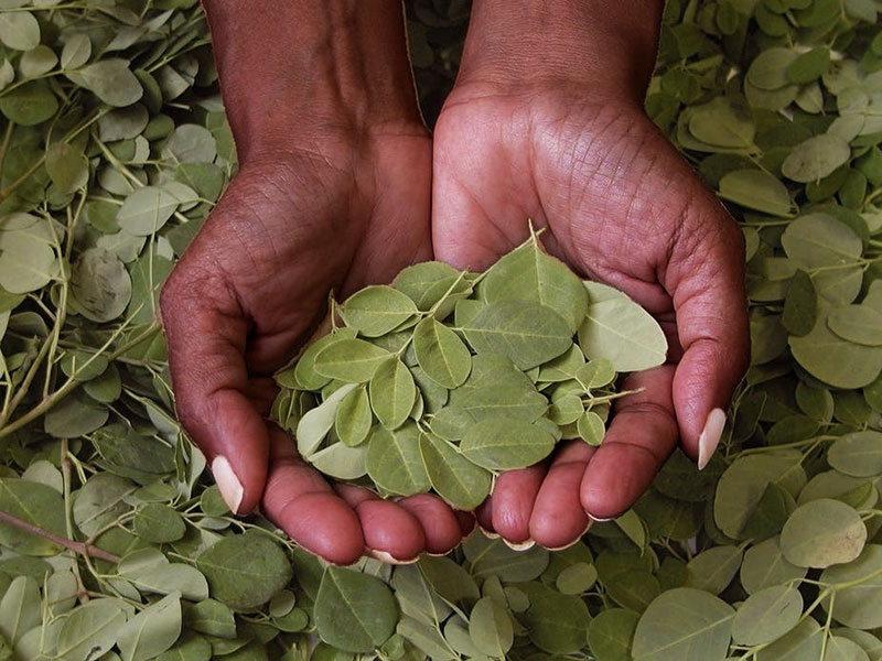 proprieta moringa