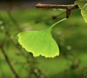 ginkgo biloba proprietà benefici