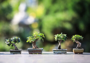 Bonsai significato regalo